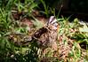 RufousCollaredSparrow CR_5_02-23-06