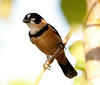 Rusty-Collared Seedeater Pant_06-08-13_0001