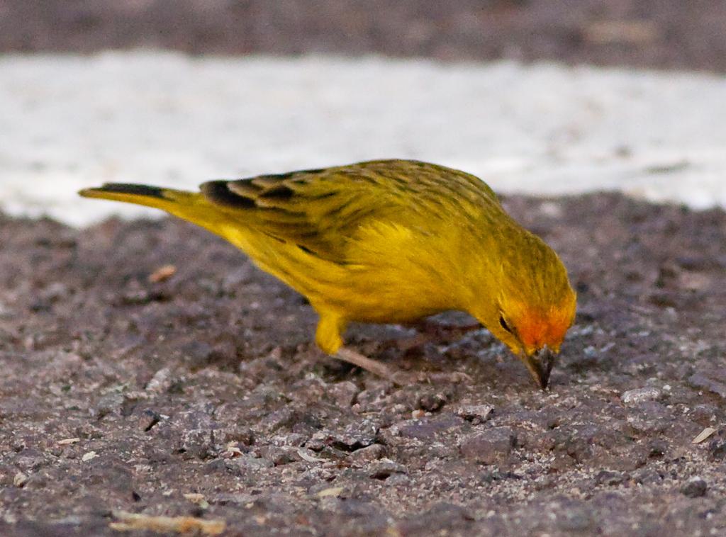 Saffron Finch Pant_06-08-12_0001