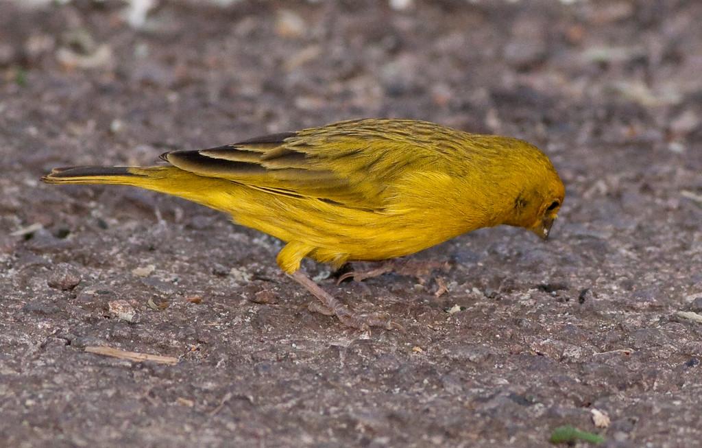Saffron Finch Pant_06-08-12_0003