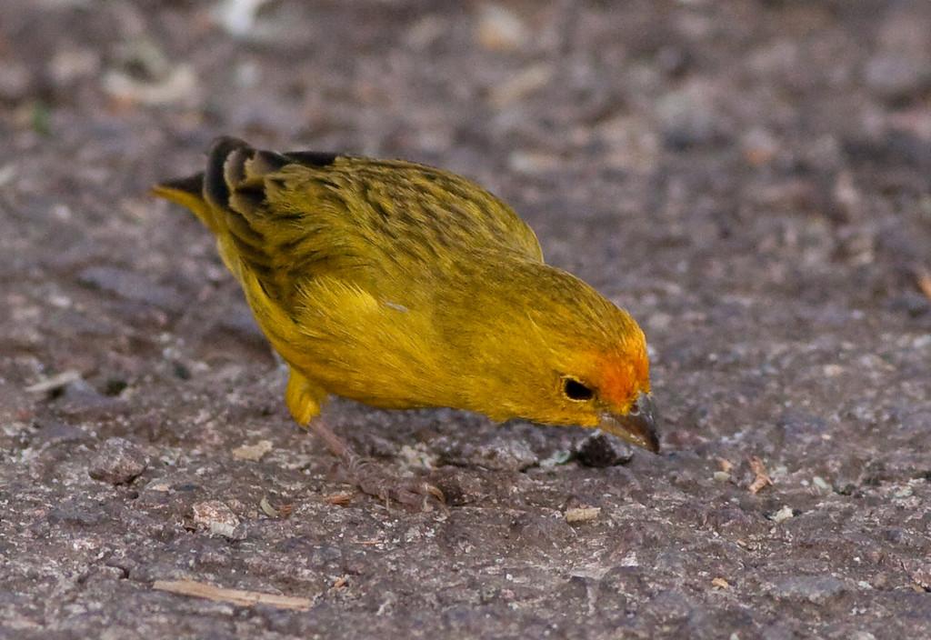 Saffron Finch Pant_06-08-12_0002