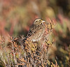 SavannahSparrow BolsaChica_08_November_18_003