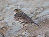 SavannahSparrow BolsaChica_08_November_18_001