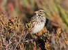SavannahSparrow BolsaChica_08_November_18_008
