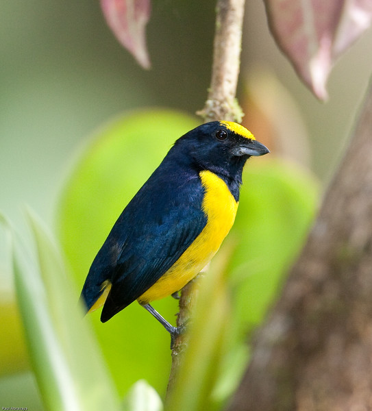Spot-crowned Euphonia male