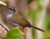 Stippedd sparrows (2)