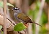 Stippedd sparrows (1)