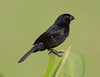 Variable seedeater (3)