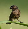 Variable seedeater (7)