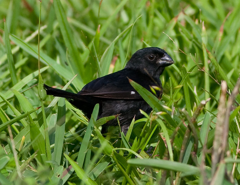 Variable seedeater (1)