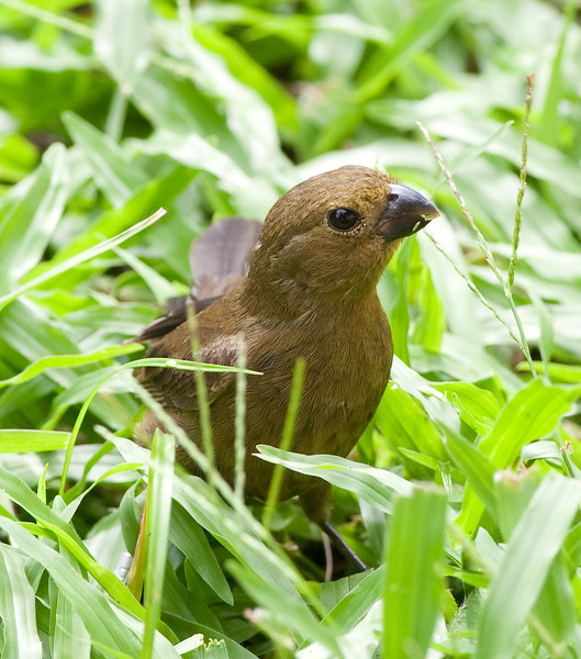 Variable seedeater (17)