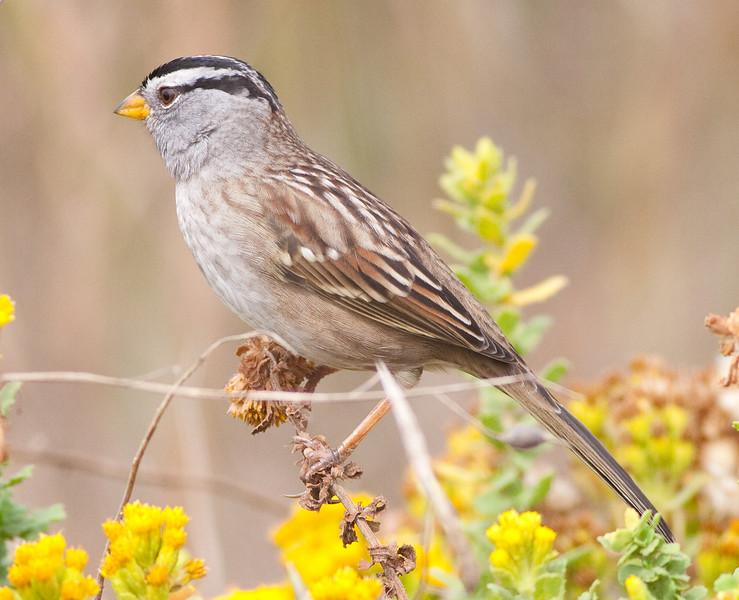 White-Crown Sparrow