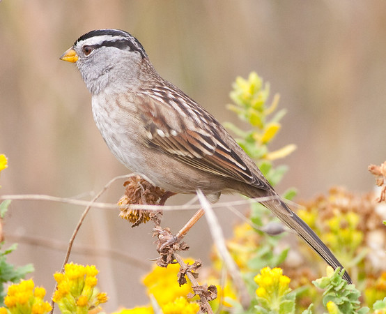White-Crown Sparrow