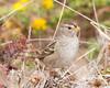 White-crown sparrow immature (2)
