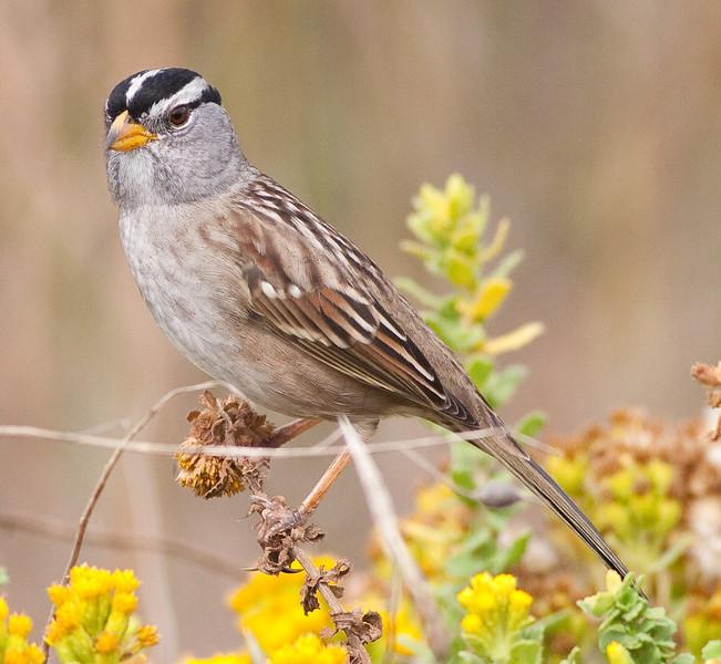 White-Crown Sparrow (3)