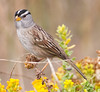 White-Crown Sparrow (3)