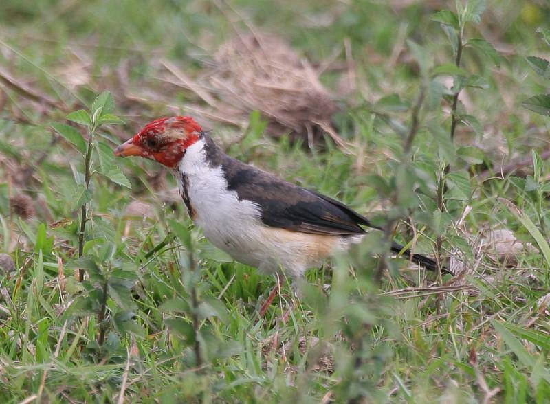 Yellow-billed cardinal (13)_442_08-06-05
