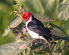 Yellow-billed cardinal (19)_448_08-05-05