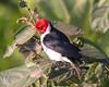 Yellow-billed cardinal (19)_448_08-05-05