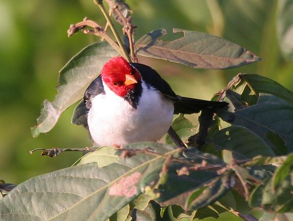 Yellow-billed cardinal (22)_451_08-05-05