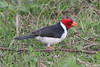 Yellow-billed cardinal (15)_444_08-06-05