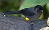 YellowThighedFinch CR_1_02-20-06