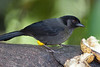 YellowThighedFinch CR_1_02-19-06