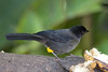 YellowThighedFinch CR_3_02-19-06