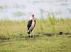 MarabouStork Chobe_14-03-08__O6B1567