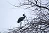 AfOpenBillStork OkavangoDelta_14-03-11__O6B1842