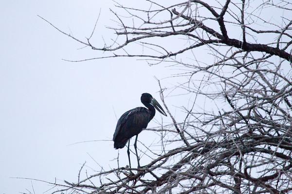 AfOpenBillStork OkavangoDelta_14-03-11__O6B1841