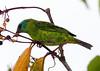 BluDacnis La Selva_10-04-26_14