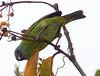 BluDacnis La Selva_10-04-26_16