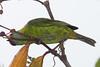 BluDacnis La Selva_10-04-26_15