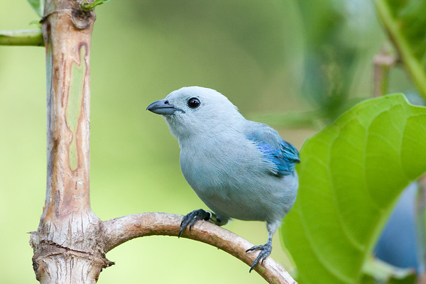 blue-gray tanager_08-07-21_08-07-21_0147_IMG_1866