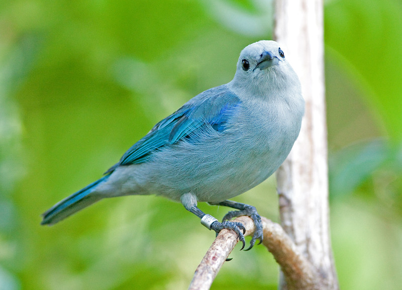 blue-gray tanager_08-07-21_08-07-21_0150_IMG_1869