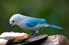 BlueGrayTanagerB CR_3_02-19-06 (3)