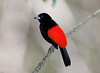 Cherries's Tanager male