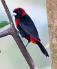CrimsonCollaredTanager CR_7_02-19-06