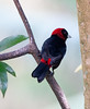 CrimsonCollaredTanager CR_6_02-19-06