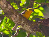 FlameColoredTanager CR_11_02-23-06