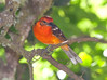 FlameColoredTanager CR_8_02-23-06