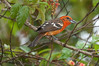 FlameColoredTanager Savegre_09-11-11_7I2B2799
