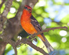 FlameColoredTanager CR_13_02-23-06