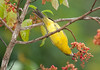 FlameColoredTanager Savegre_09-11-11_7I2B2770