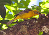 FlameColoredTanager CR_3_02-23-06