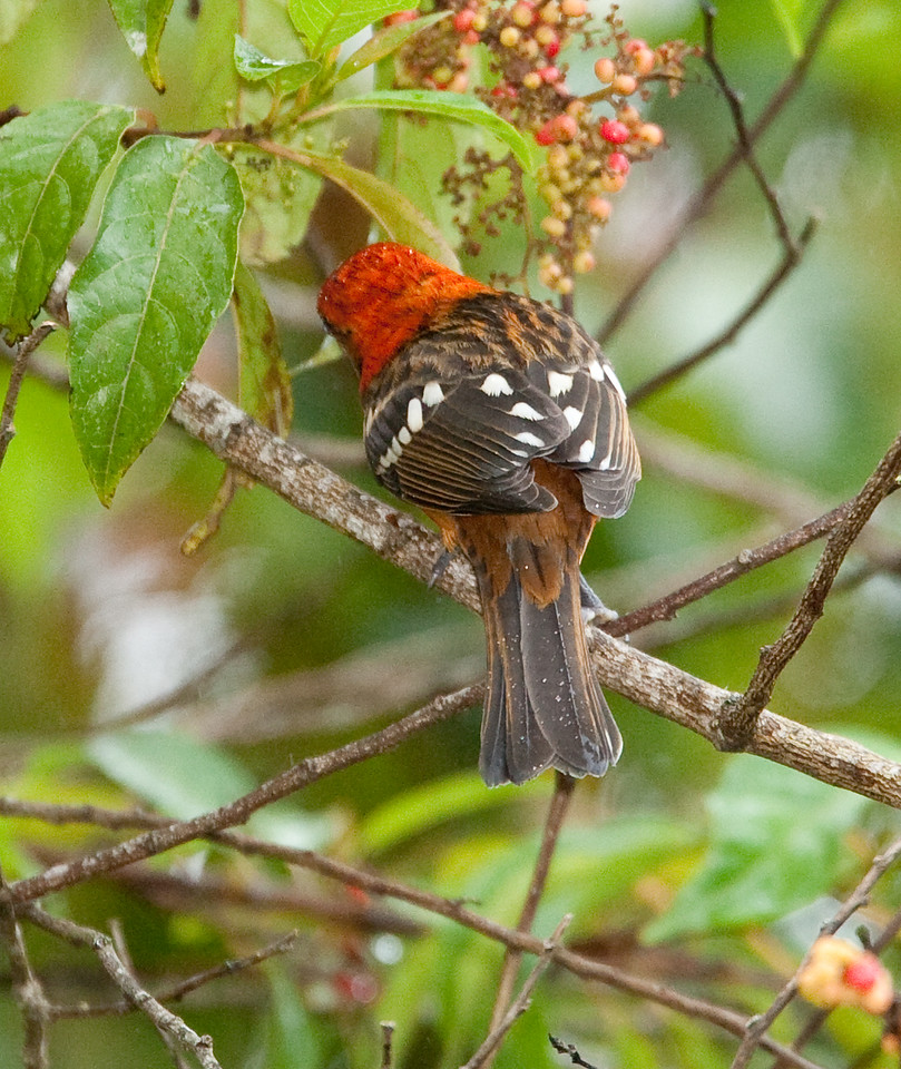 FlameColoredTanager Savegre_09-11-11_7I2B2800