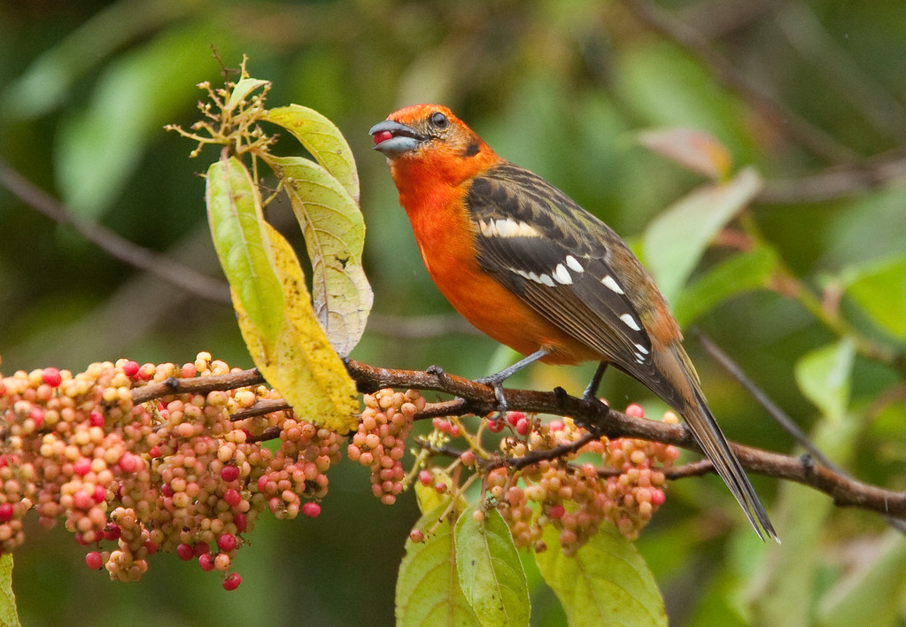 FlameColoredTanager Savegre_09-11-12_7I2B3369