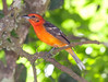 FlameColoredTanager CR_4_02-23-06