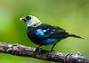 Golden-hooded Tanager_15-07-14__C7A7589
